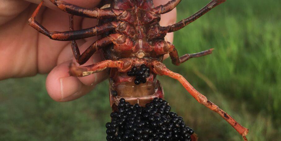 female crawfish with eggs