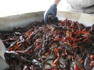 bin of live crawfish